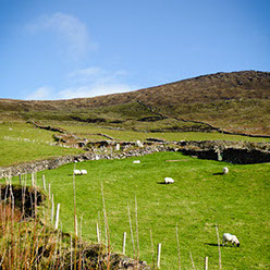 Sheep grazing on a hill of green grass on a beautiful sunny day with a blue sky